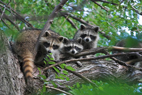 Damage Caused By Racoons